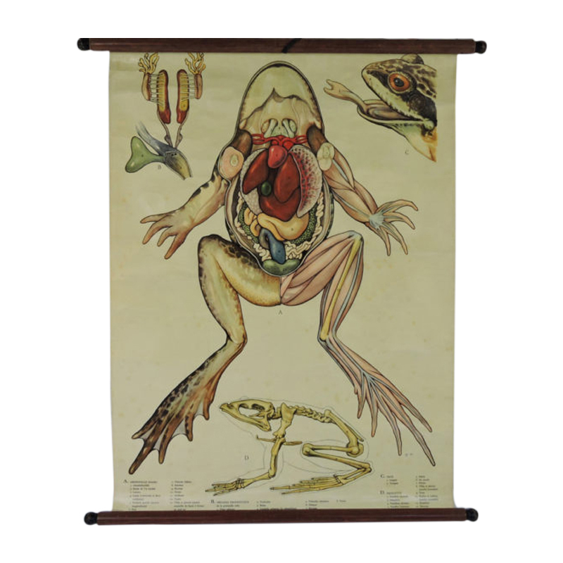 Pull Down Wall Chart of frog Anatomy, 1970s